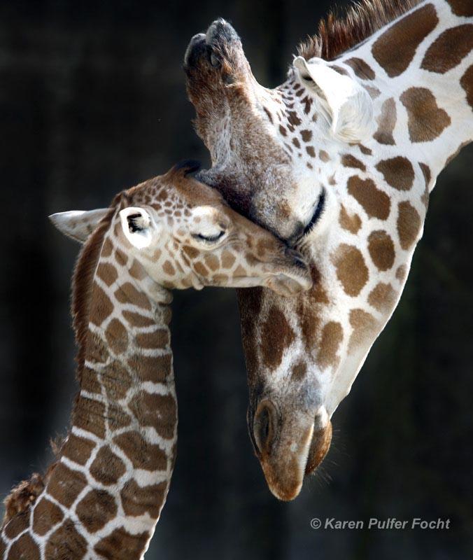 ©Focht-  Memphis Zoo Giraffes 001.JPG