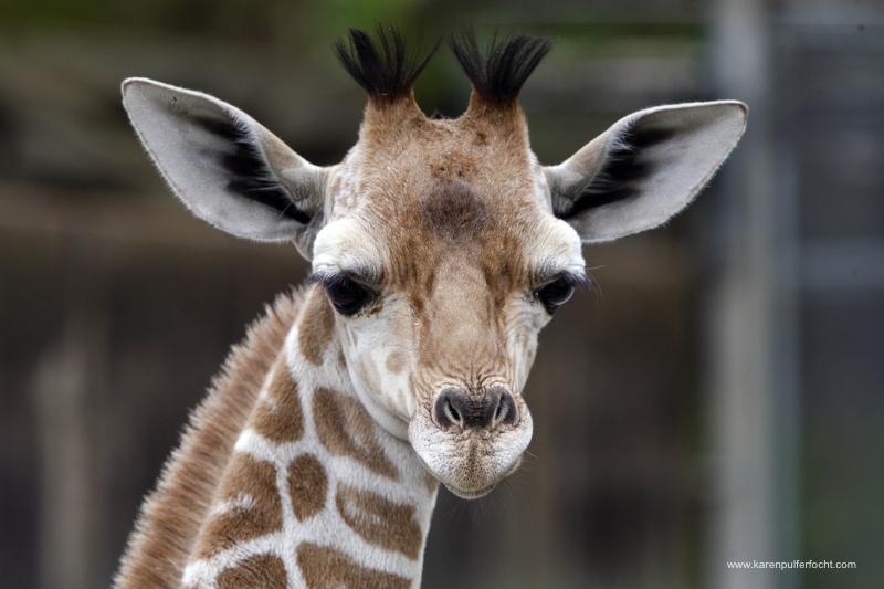 ©Focht-  Memphis Zoo Giraffes 002.JPG