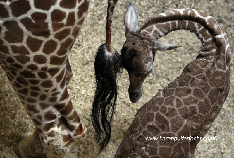 ©Focht-  Memphis Zoo Giraffes 005.JPG