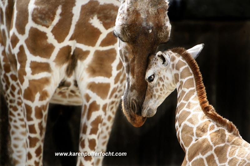 ©Focht-  Memphis Zoo Giraffes 006.JPG