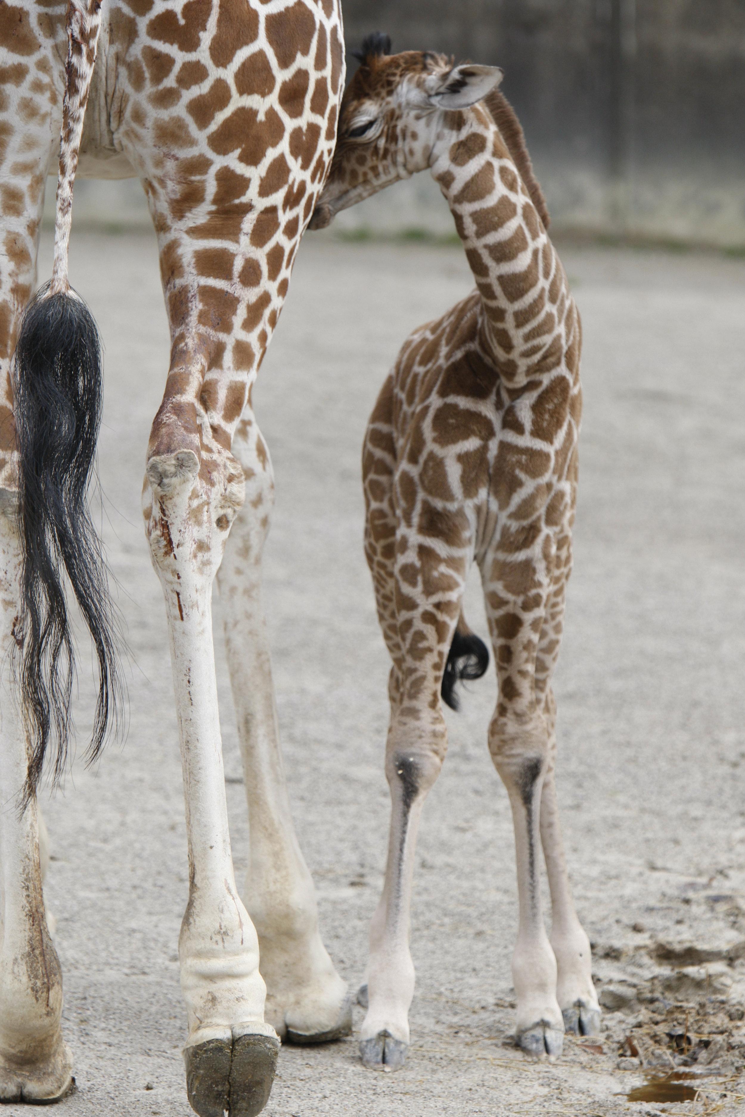 ©Focht-  Memphis Zoo Giraffes 004.JPG
