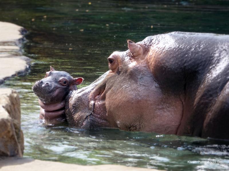 ©Focht- Memphis Zoo 04152017 Hippo 009.JPG
