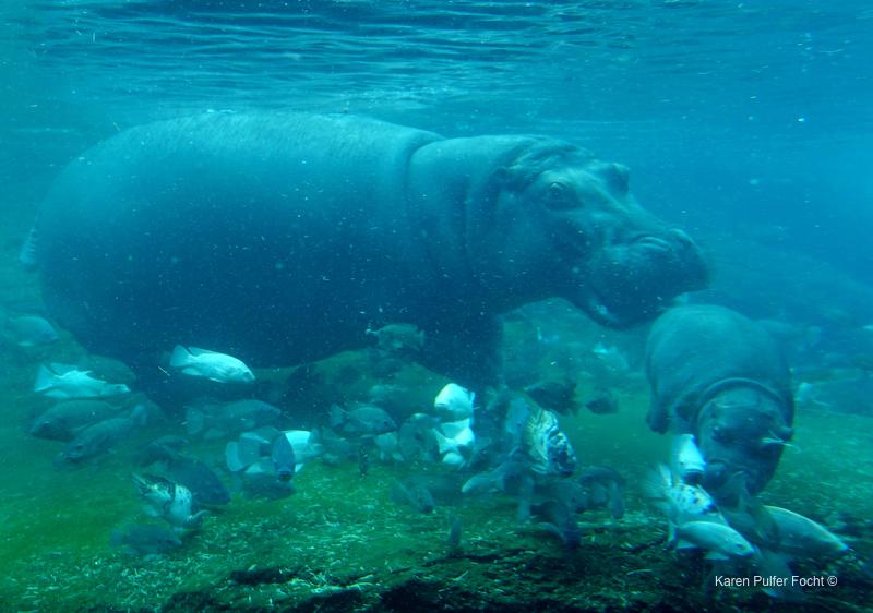 ©Focht- Memphis Zoo 04172017 Hippo 000.JPG