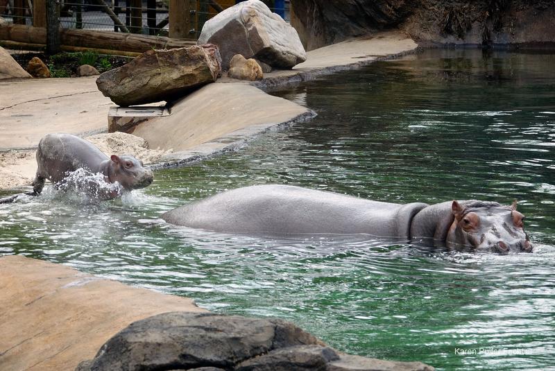 ©Focht- Memphis Zoo 04172017 Hippo 001.JPG