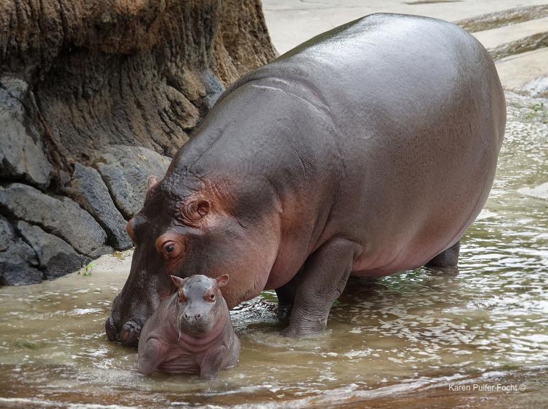©Focht- Memphis Zoo 04172017 Hippo 003.JPG