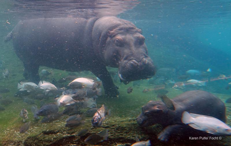 ©Focht- Memphis Zoo 04172017 Hippo 009.JPG