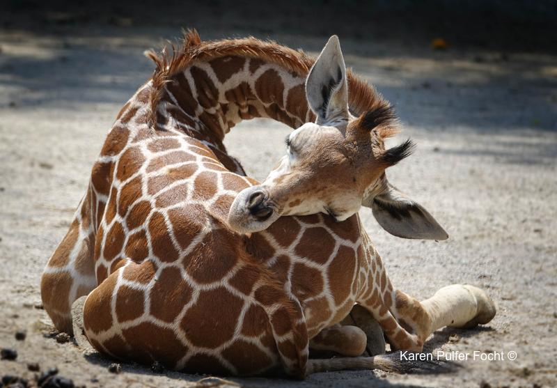 08212017 Zoo Eclipse Giraffe © Karen Pulfer Focht 130.JPG