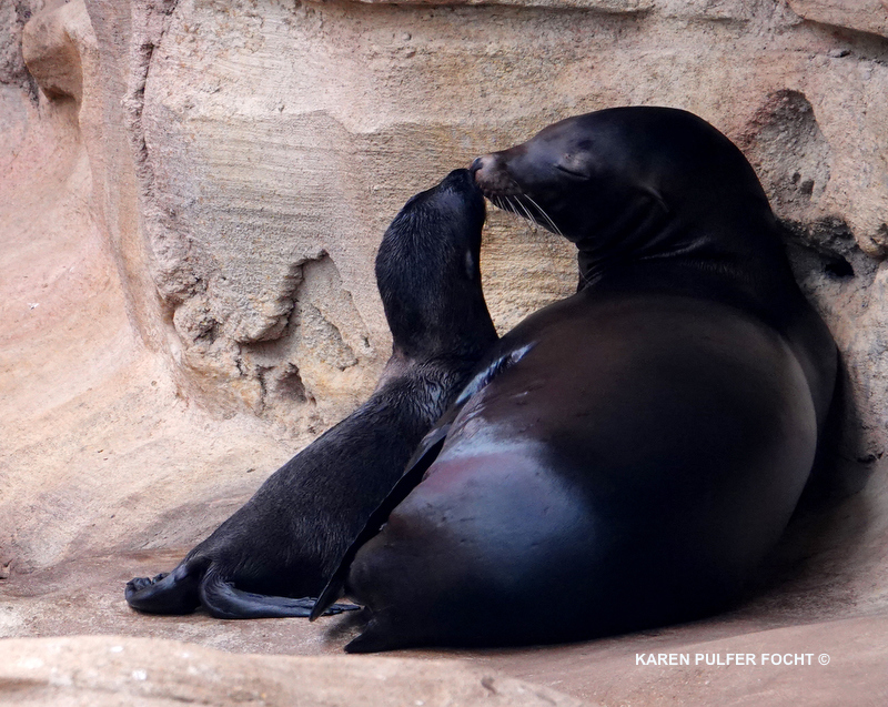 Catalina and Remy, two seal lions at the Memphis Zoo recently gave birth to two California sea lion pups!