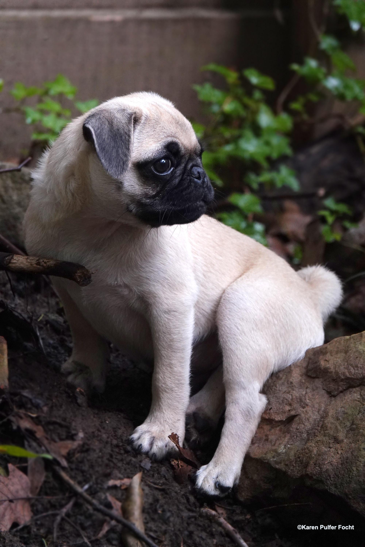 08032019 Pug Puppy Stanley © FOCHT 006a.JPG