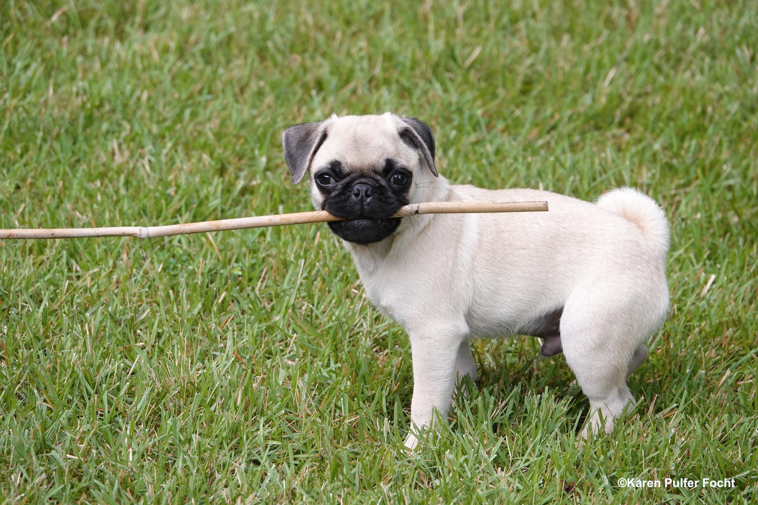 08032019 Pug Puppy Stanley © FOCHT 019.JPG