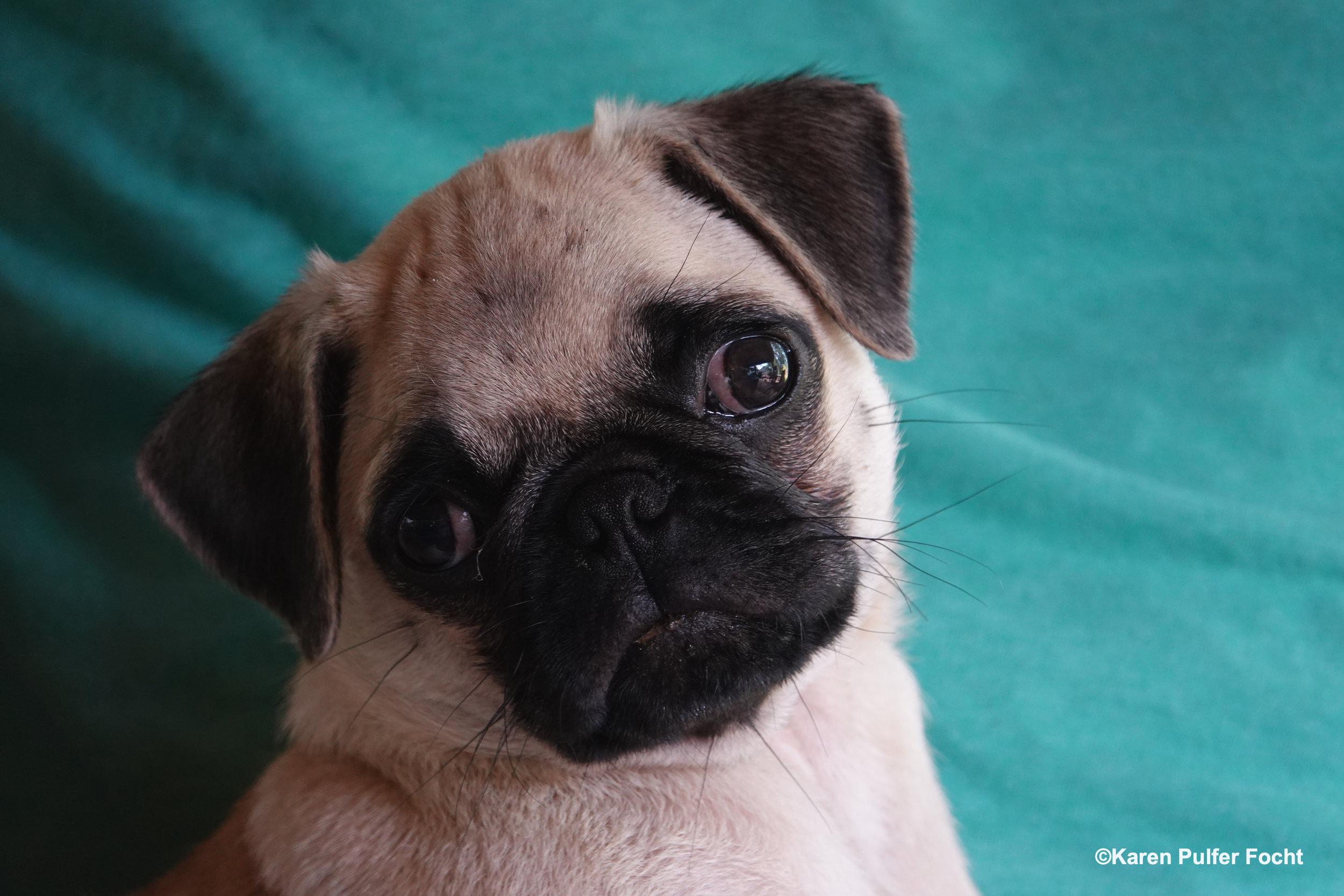 08032019 Pug Puppy Stanley © FOCHT 046.JPG