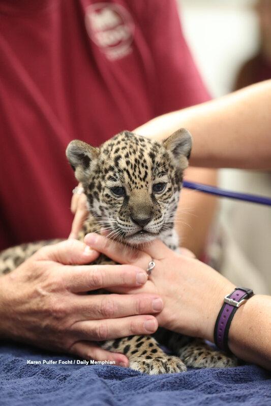 10102019 Baby Jaguars ©FOCHT 001.JPG