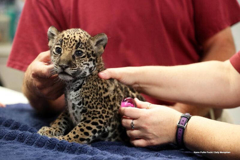 10102019 Baby Jaguars ©FOCHT 002.JPG