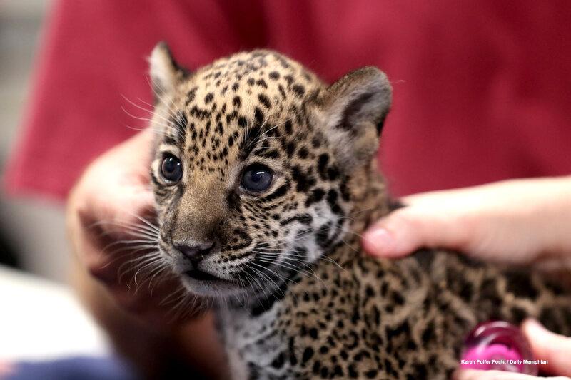 10102019 Baby Jaguars ©FOCHT 003.JPG