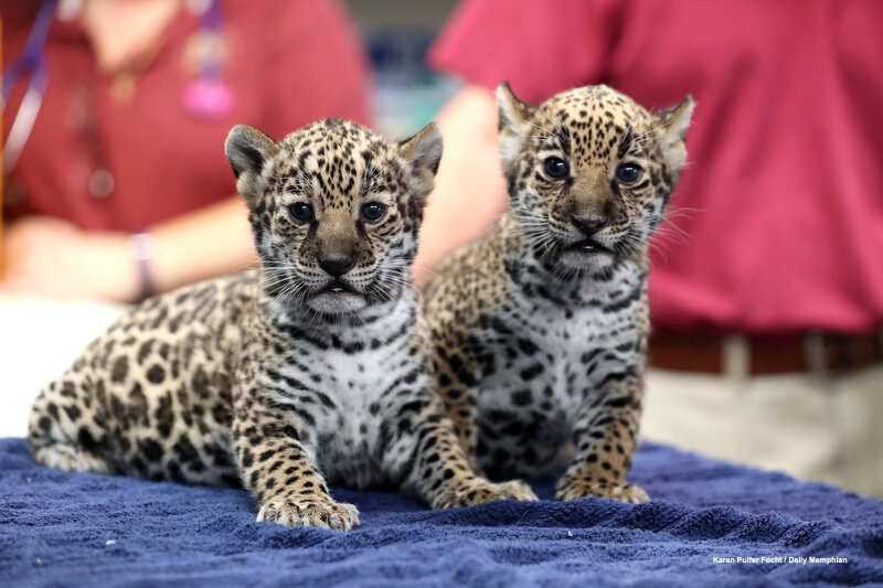 10102019 Baby Jaguars ©FOCHT 004.JPG
