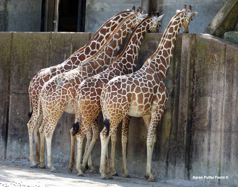 ©Focht-  04102017 Giraffe 01.JPG