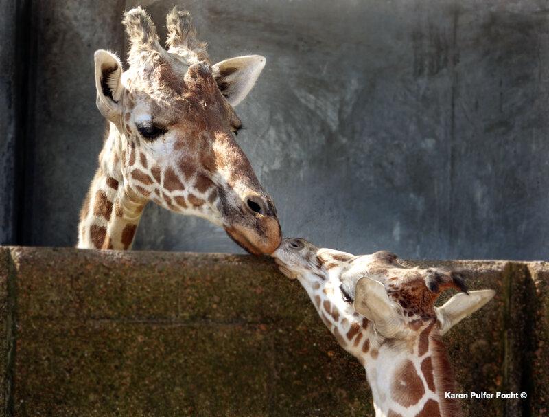 ©Focht-  04102017 Giraffe 02.JPG