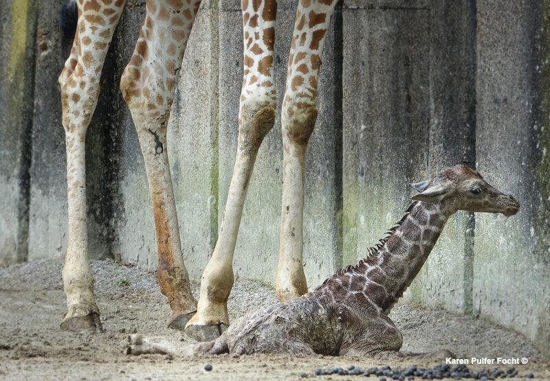 ©Focht- Baby Giraffe 04032017- 063A.JPG