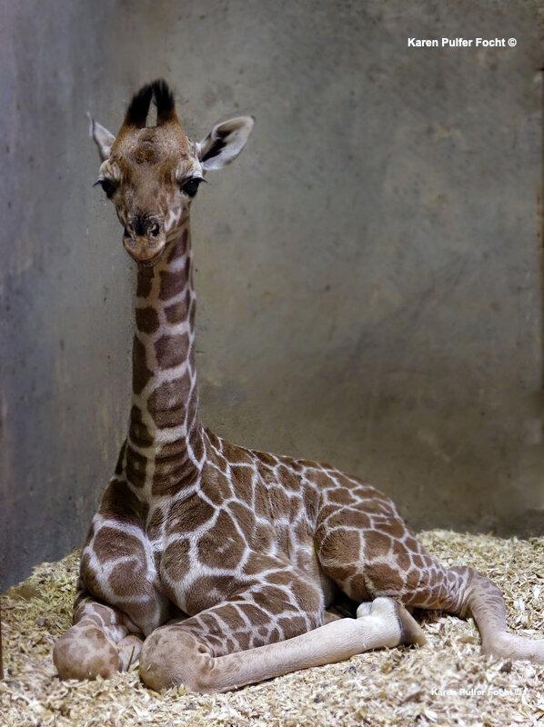 ©Focht- Memphis Zoo 04172017 Giraffe 001 PSA.JPG