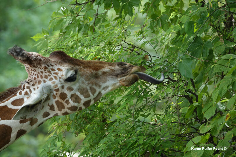 08212017 Focht Giraffe Babies 011.JPG