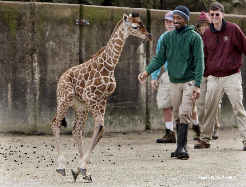 Memphis Zoo Giraffes © FOCHT 135.JPG