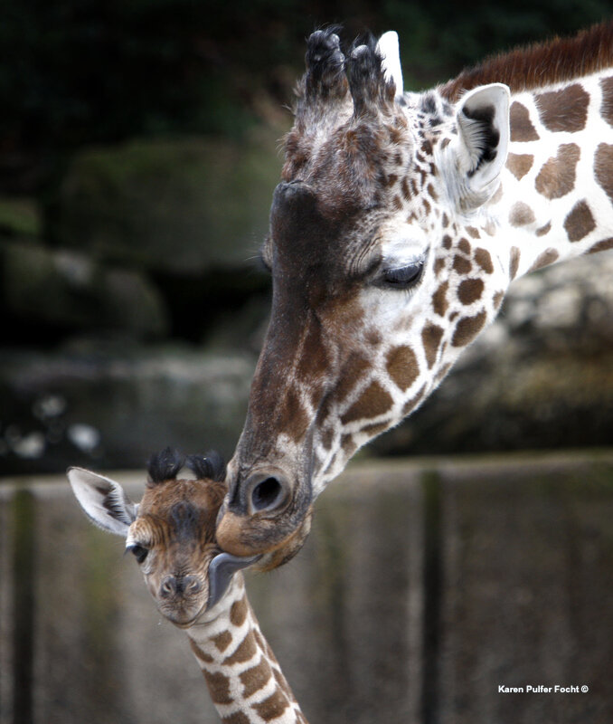Memphis Zoo Giraffes © FOCHT 136.JPG