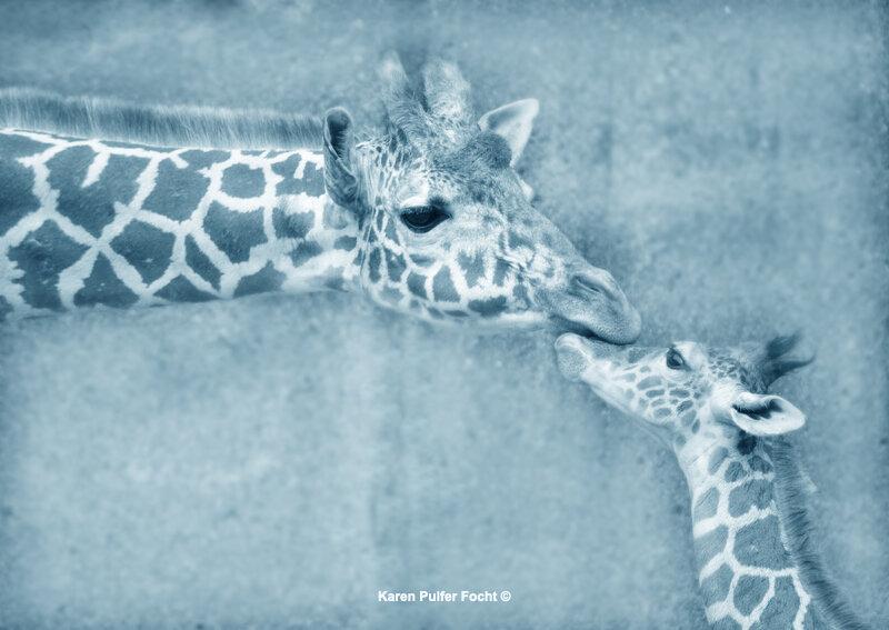 Memphis Zoo Giraffes © FOCHT 138.JPG