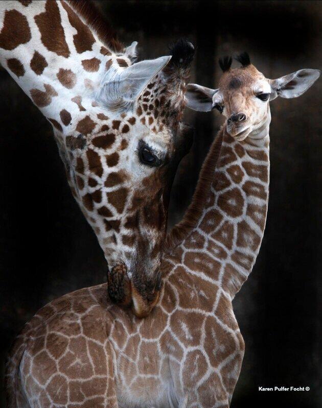 Marilyn The Giraffe at the Memphis Zoo