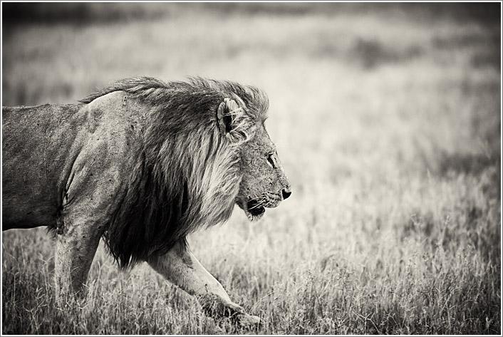 lion-5.jpg