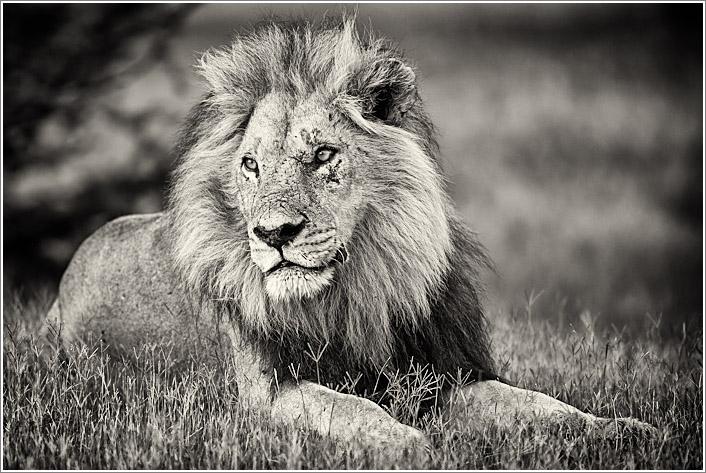 lion-4.jpg