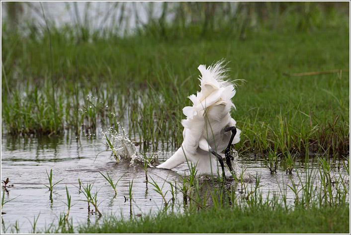 egret-2.jpg