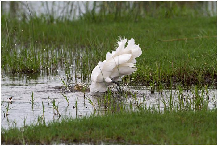 egret-3.jpg