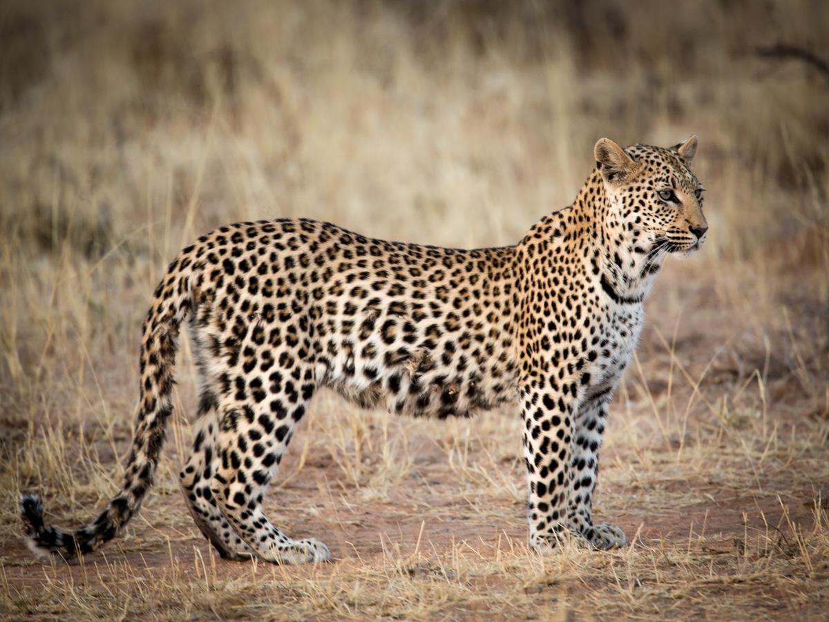 Juvenile Leopard: Canon 5D mk3, 500mm F4.0+1.4x extender @f5.6, 1/200, ISO800