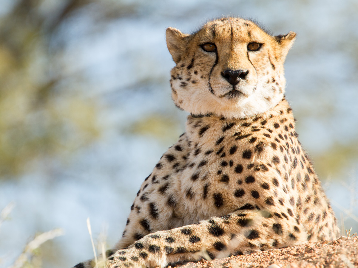 Collared Cheetah: Canon 5D mk3, 500mm F4.0+1.4x extender @ f5.6, 1/800, ISO500