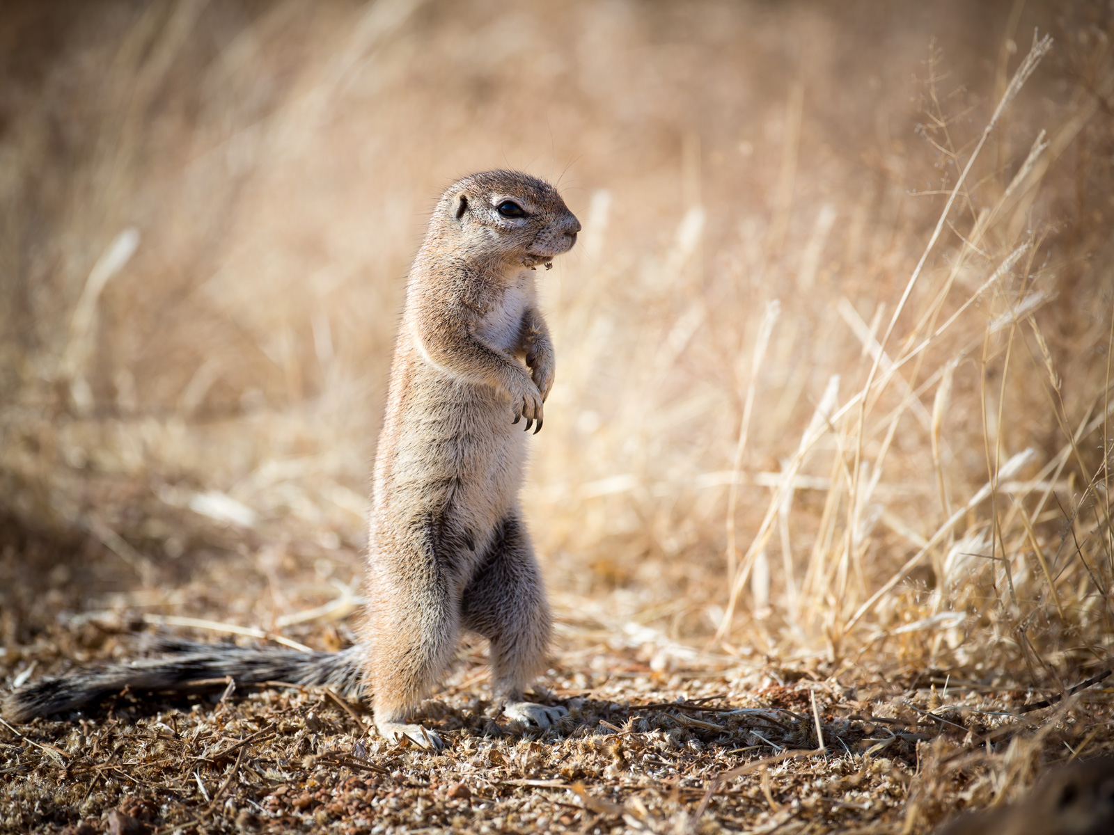 Ground Squirrel (Namibia): Canon 5D mkiii, 500mm F4 @f4.0, 1/2000, ISO250