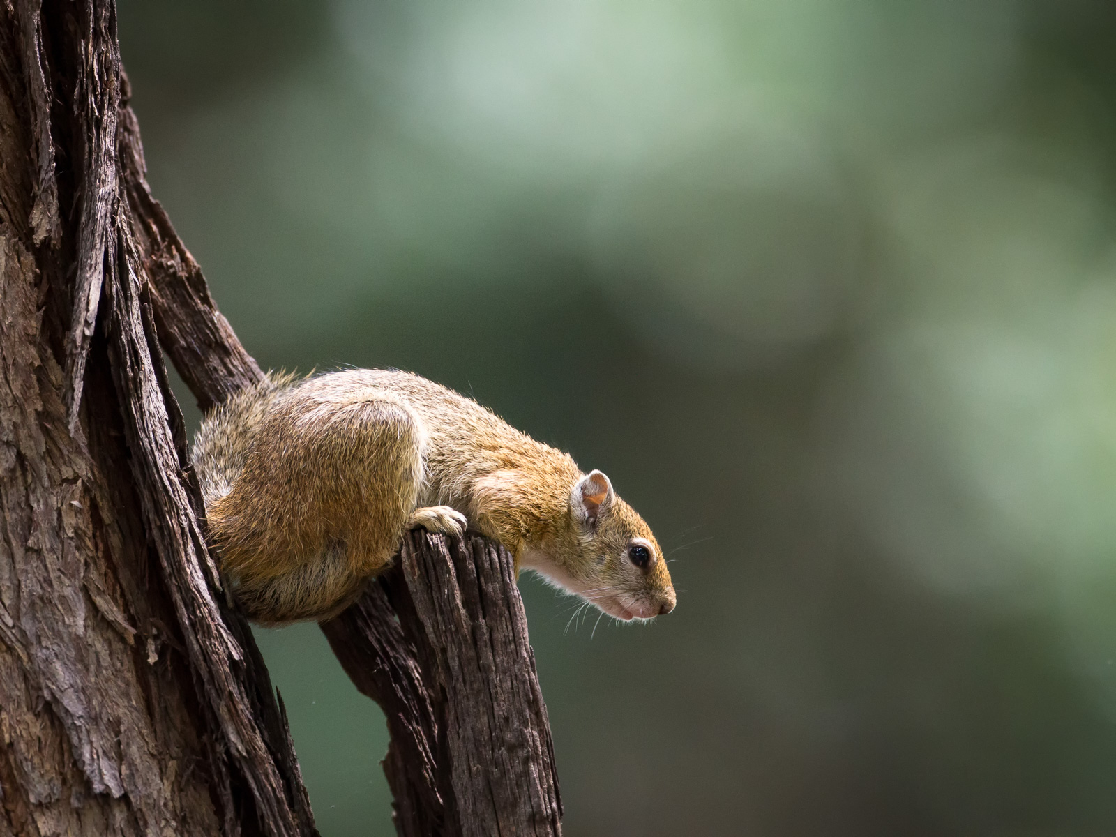 Squirrel (Botswana): Canon 7D, 500mm F4 @f4.0, 1/1000, ISO1600