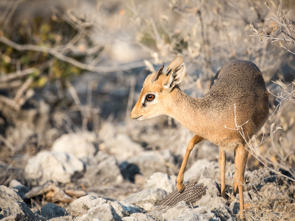 Dik Dik (Namibia): Canon 5D mkiii, 500mm F4 @f6.3, 1/4000, IS1250
