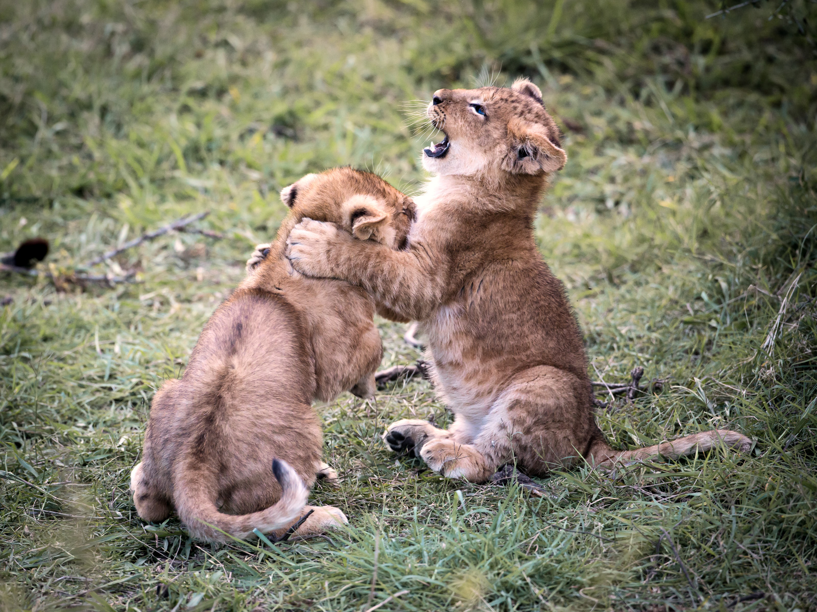 Baby Lions (Kenya): Canon 5D mkiii, 500mm F4 @f5.6, 1/400, ISO2500