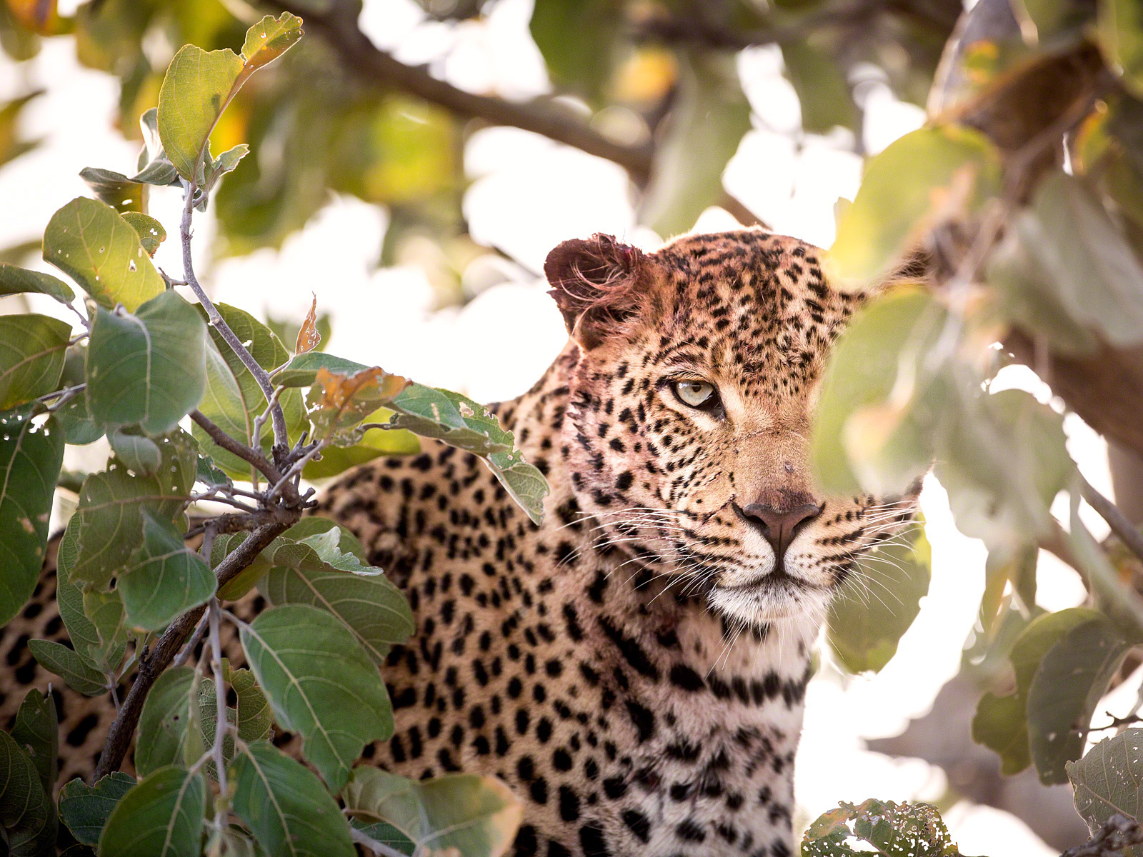 Femaile Leopard: Canon 5D mk3, 500mm F4.0 @f4.0, 1/1000, ISO1000