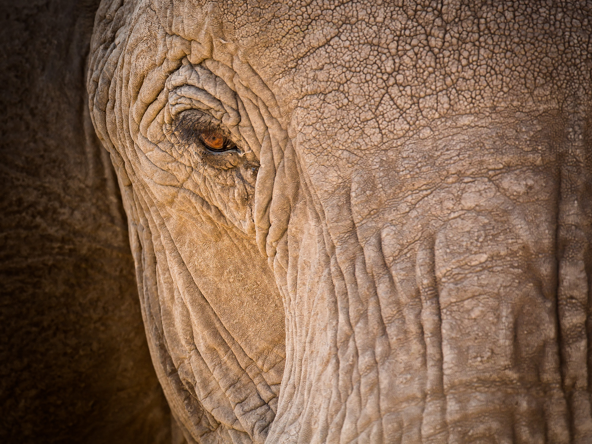 The classic elephant eye shots shows heaps of facial character.