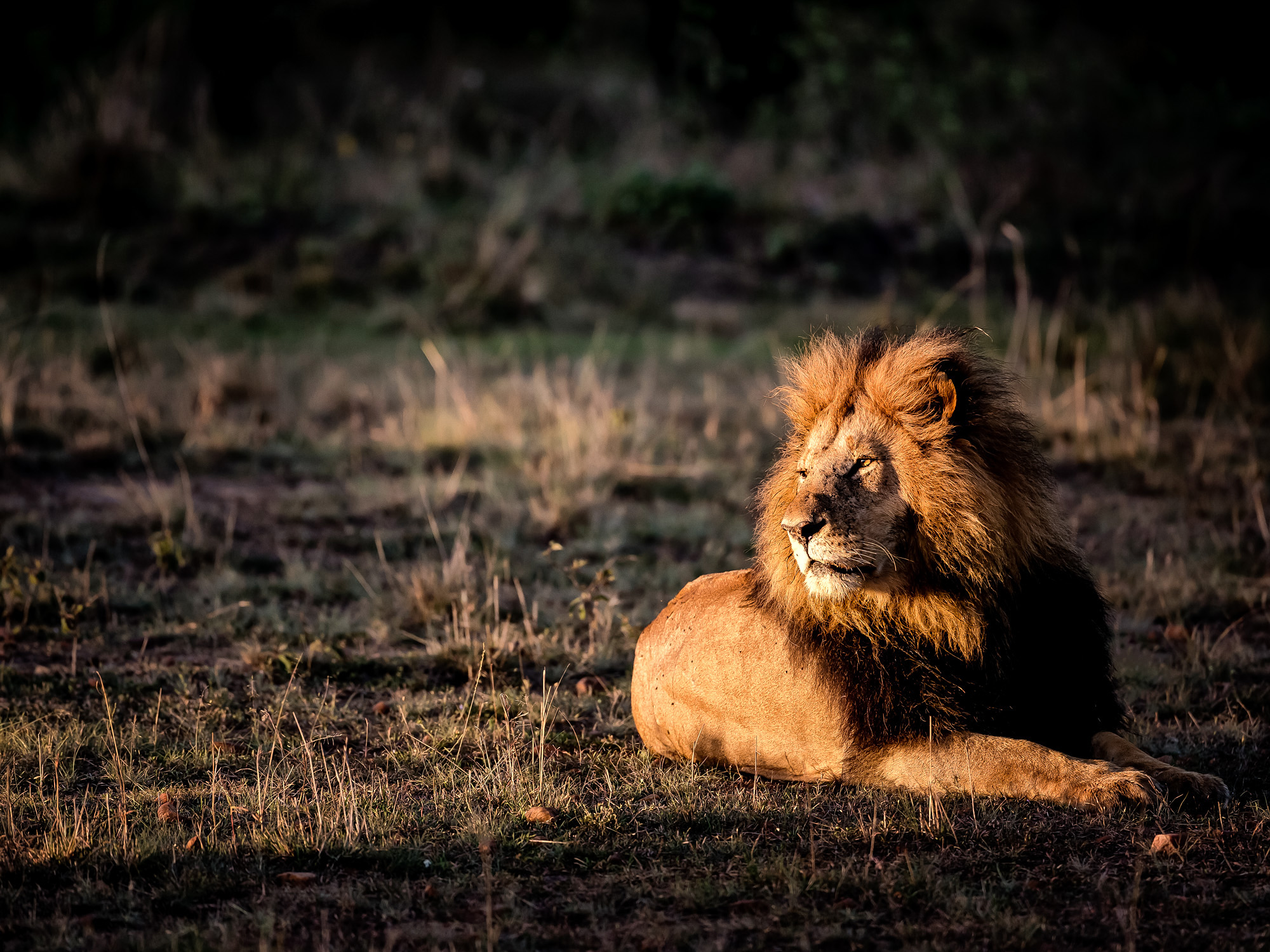 Sitting in a pool of light in the morning this lion looks regal.