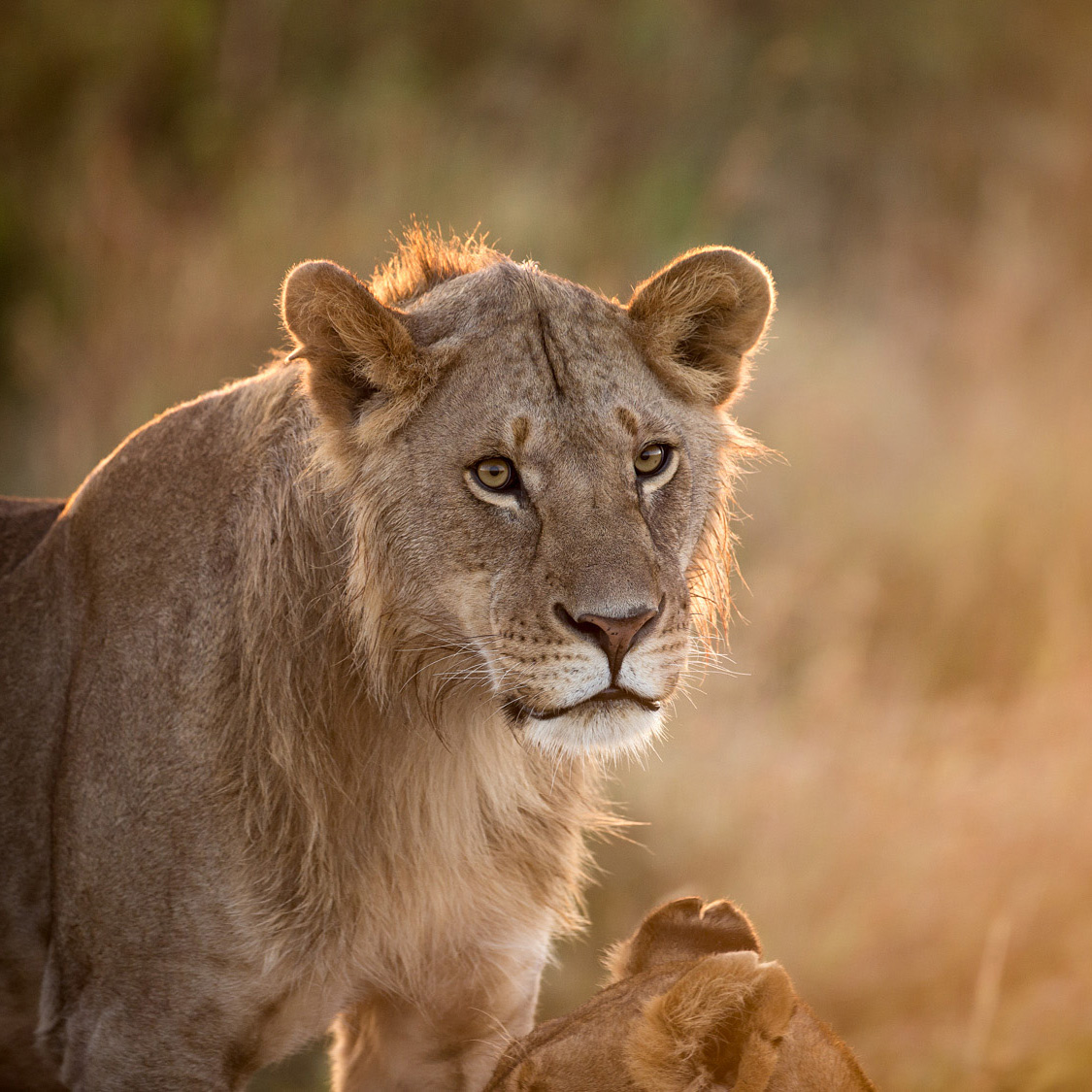 The morning after for young lions captured with backlighting.