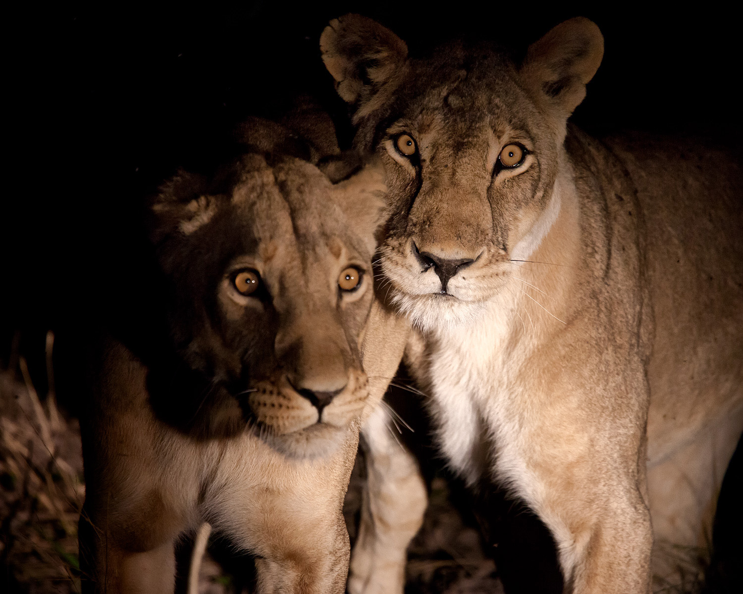 Lions are more active at night!