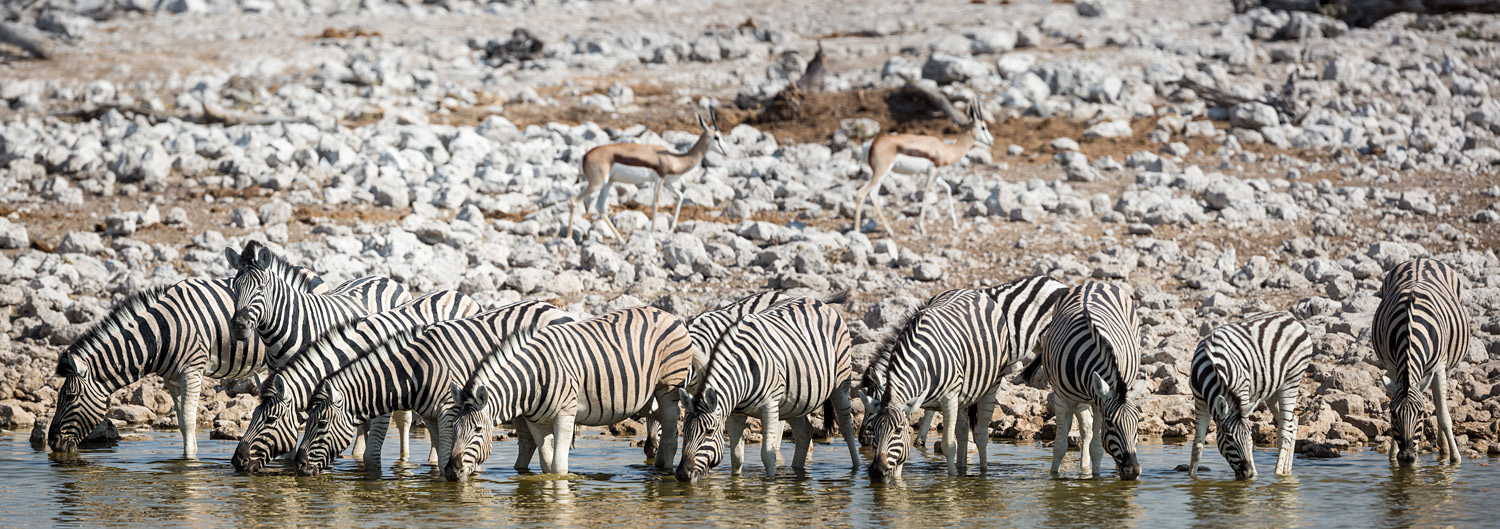 Zebra's in a line just waiting for the panoramic treament.