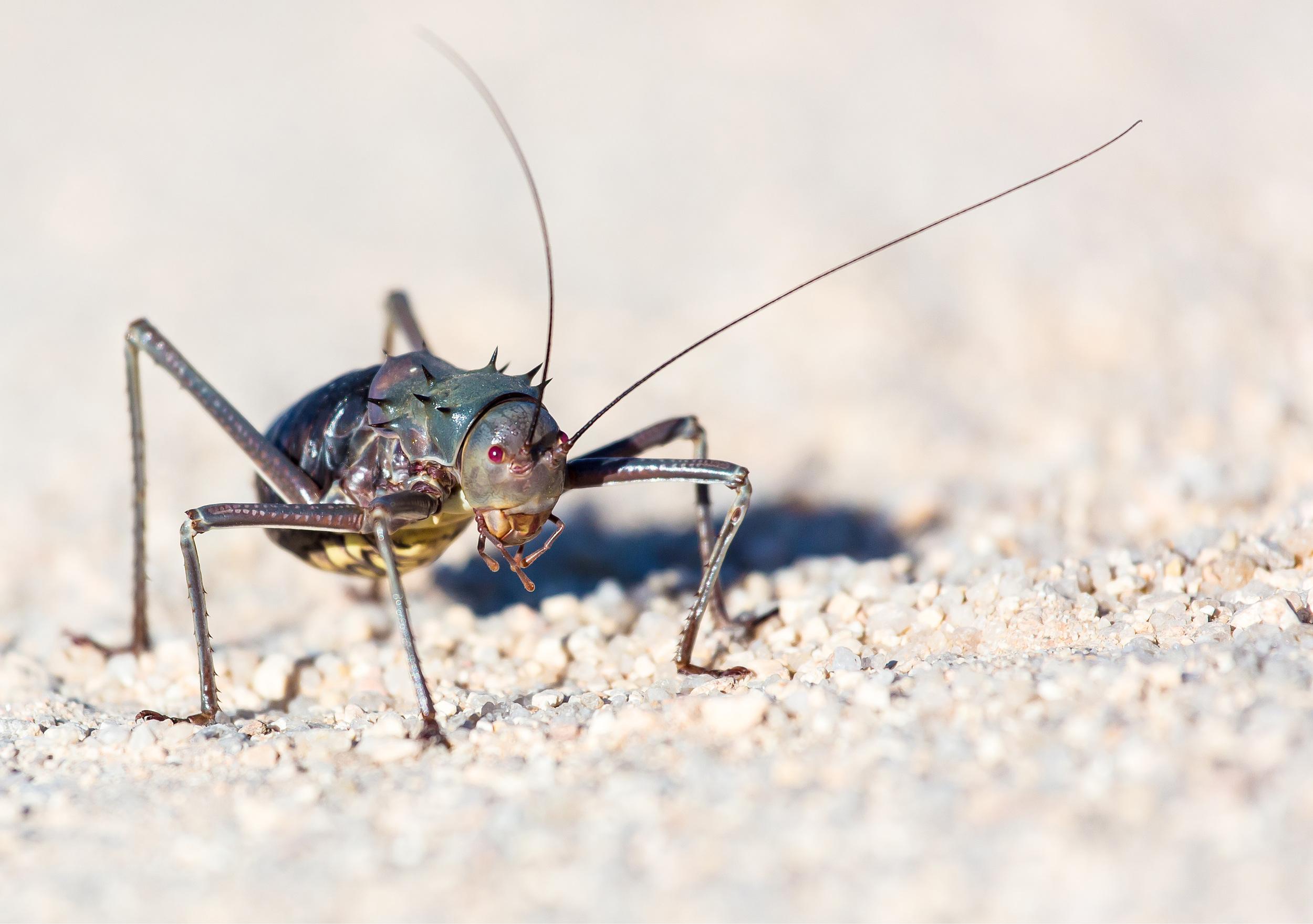 A bush cricket shot with a telephoto lens.