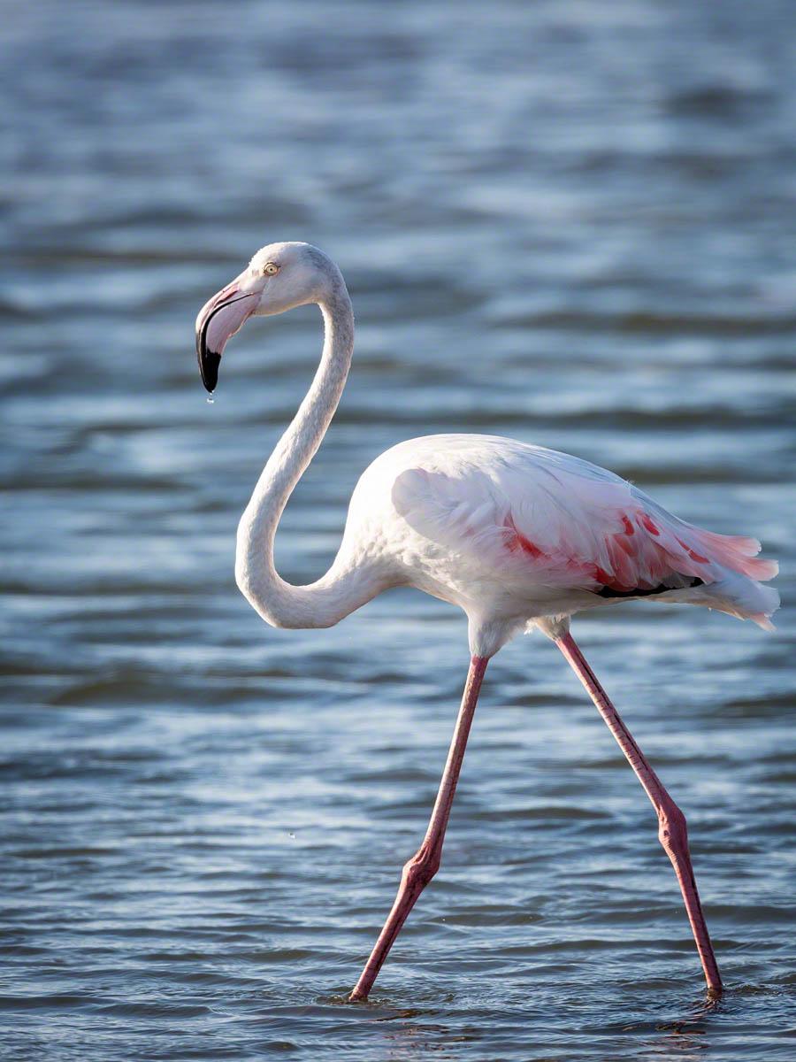 Walvis Bay Flamingo - Canon 5D Mark  III, 500mm+1.4x,f8.0, 1/1000 sec, ISO 640