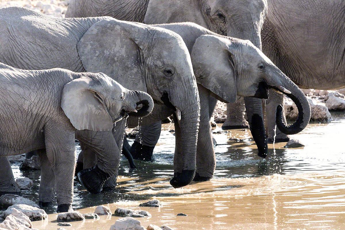Elephant Family - Canon 5D Mark  III, 500mm,f9.0, 1/500 sec, ISO 1000