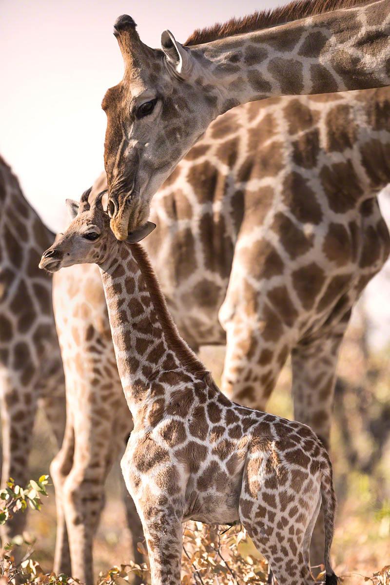 Giraffe baby - Canon 5D Mark  III, 500mm,f4.0, 1/2500 sec, ISO 400