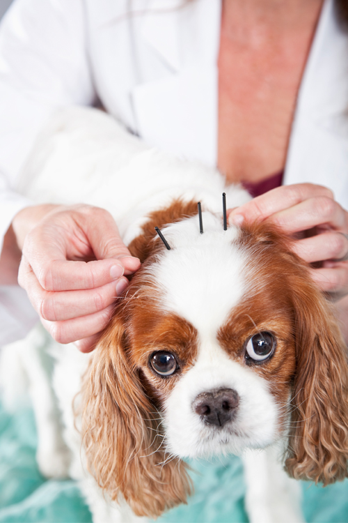 DogAcupuncture.jpg