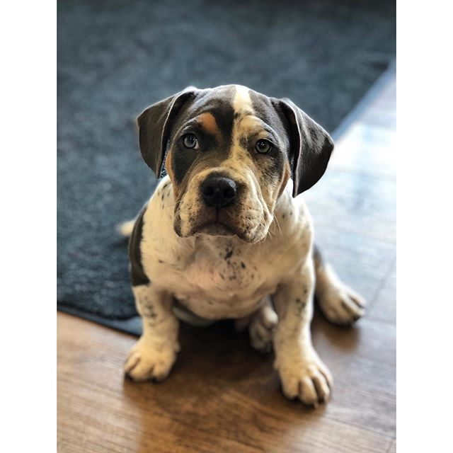 bulldog love 💙 . . . . #bulldog #americanbulldog #dogsofinstagram #dogoftheday #dogstagram #puppylove #puppiesofig